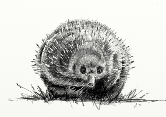 Sketch of an echidna