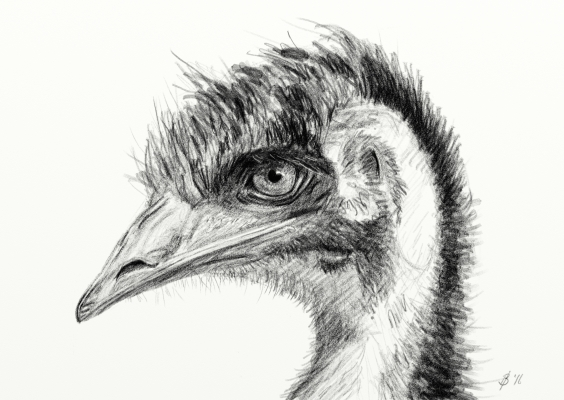 Sketch of an emu