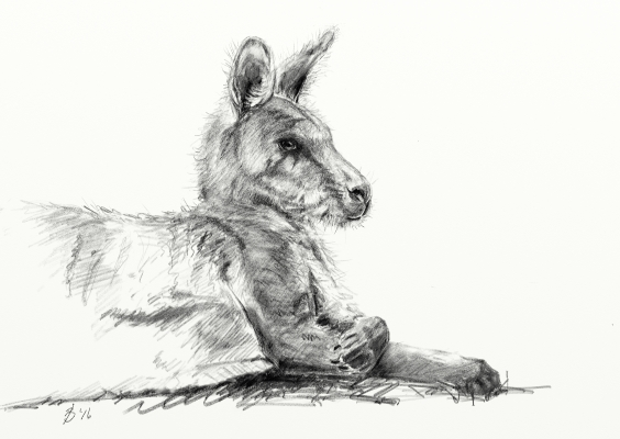 Sketch of an Eastern Grey Kangaroo
