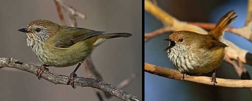 Side by side comparison of a Striated and Brown Thornbill