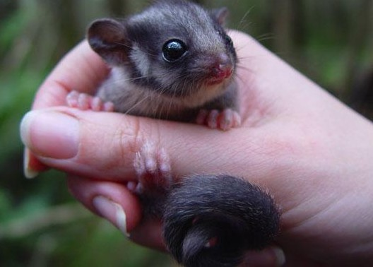Photograph of a Leadbeater's Possum