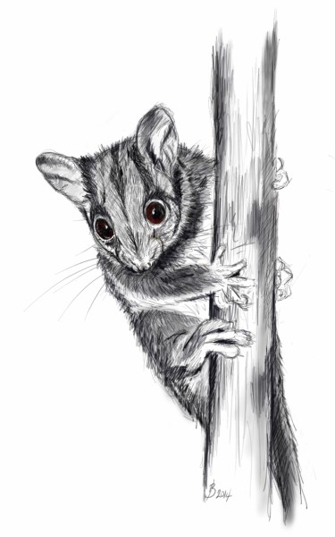 Drawing of a Leadbeater's Possum